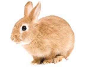 Conejo común marrón