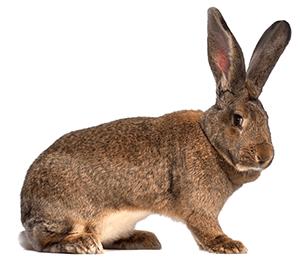 Conejo de Flandes o gigante de Flandes de color marrón