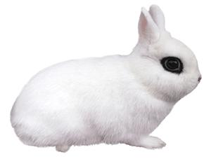 Conejo blanco hotot