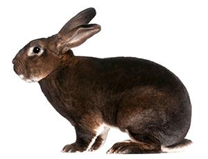 Conejo rex de color marrón oscuro