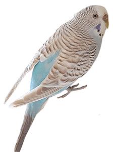 Periquito canela de color azul