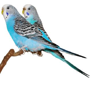 Ejemplares de periquito común de la línea azul