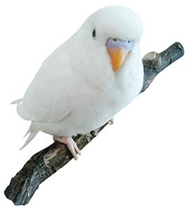Periquito ino albino
