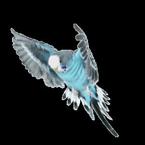 Periquito azul volando