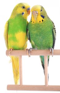 Pareja de periquitos macho y hembra de color verde sobre una percha de madera