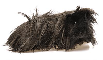 Cobaya negra de pelo largo