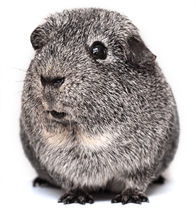 Cobaya agouti gris