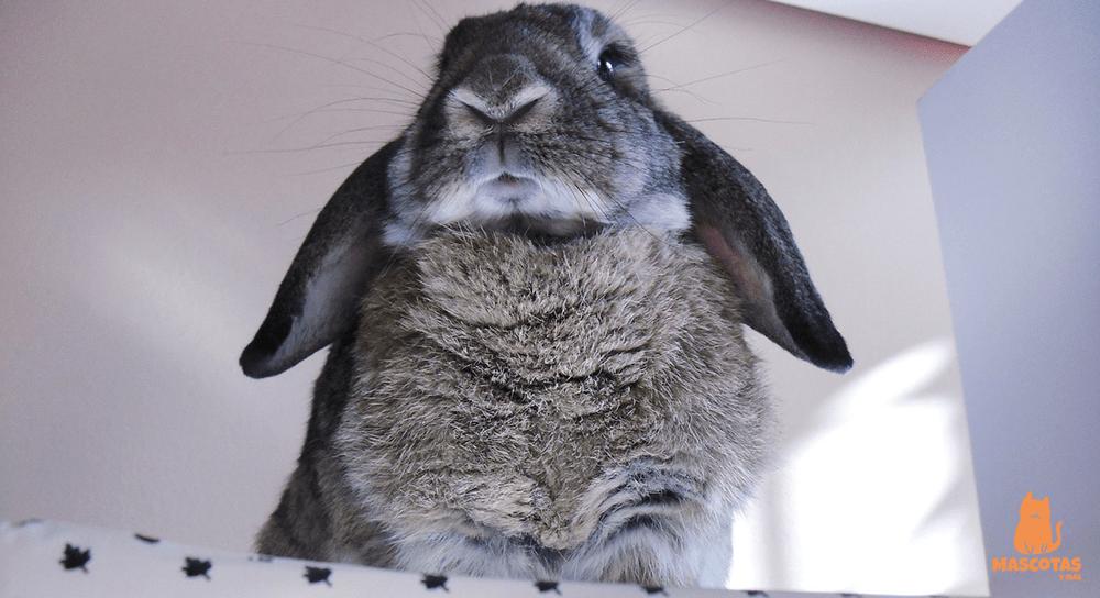 Conejo belier gris hembra