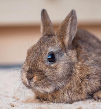 Conejo macho o hembra