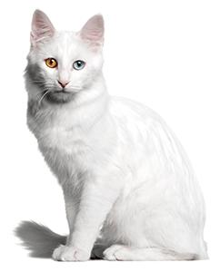 Ejemplar de gato Angora turco