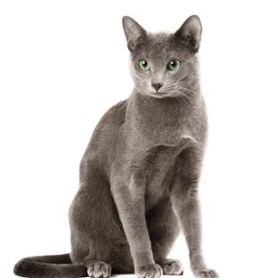 Ejemplar de gato Azul ruso