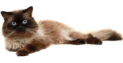 Ejemplar de gato Himalayo