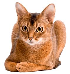Ejemplar de gato abisinio
