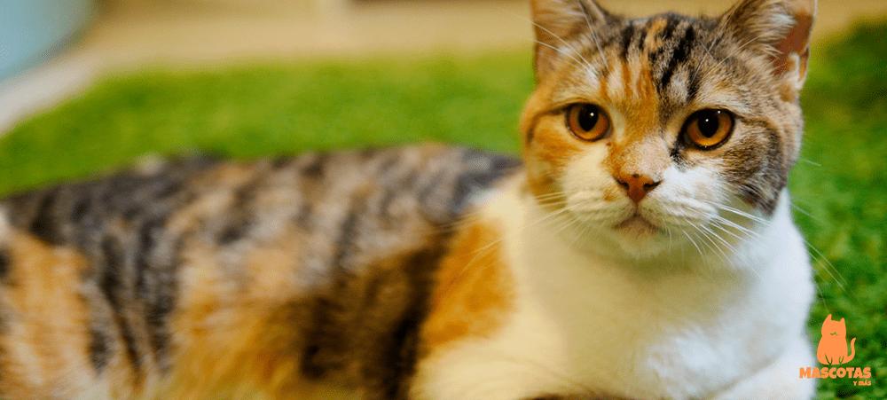 Gato americano cálico