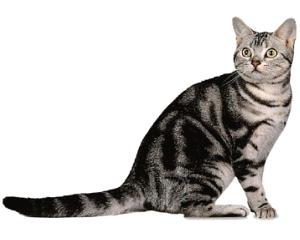 Ejemplar de gato americano de pelo corto