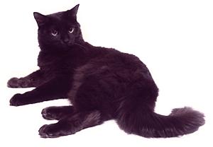 Ejemplar de gato Chantily