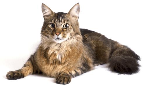 Ejemplar de gato Maine Coon