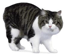 Ejemplar de gato Manx