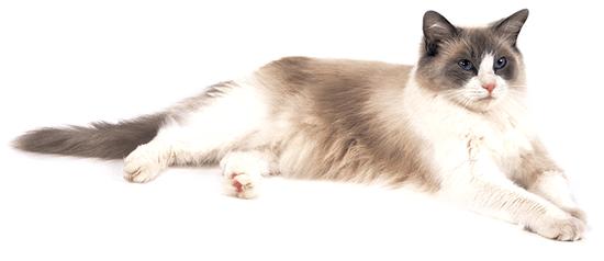 Ejemplar de gato Ragdoll