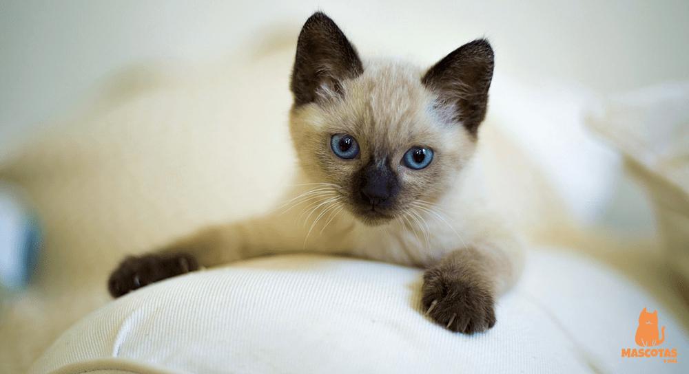 Cachorro de gato siamés