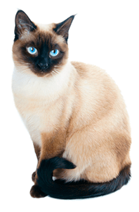 Ejemplar de gato siamés moderno