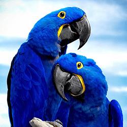 Guacamayo azul