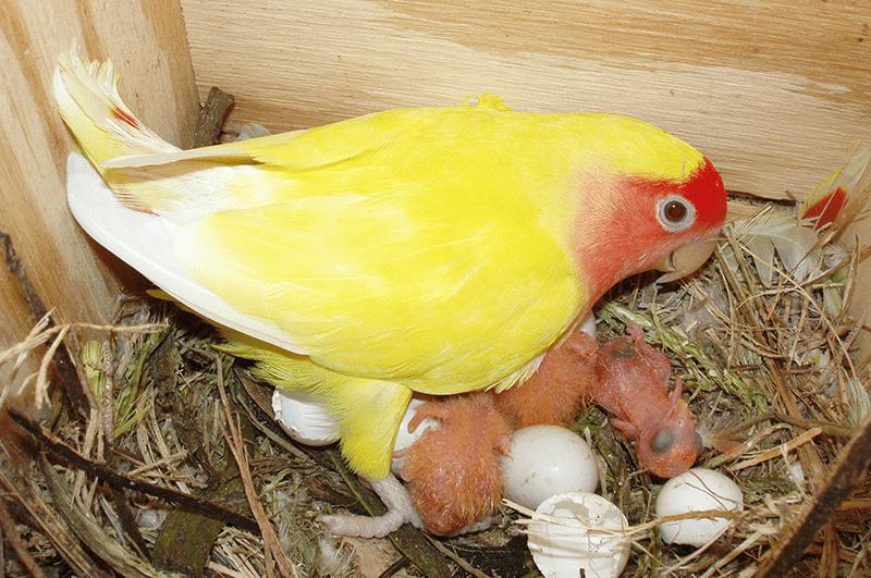 Agapornis hembra cuidando de las crías recién nacidas en el nido