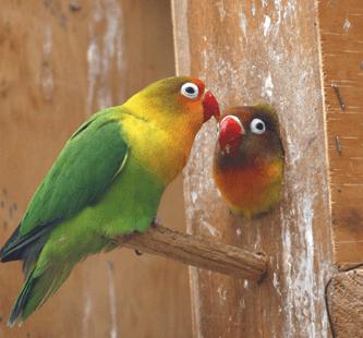 Pareja de agapornis en el nido
