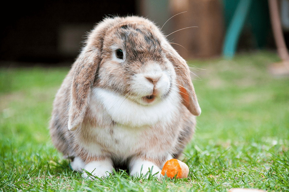 Conejo belier sobre césped