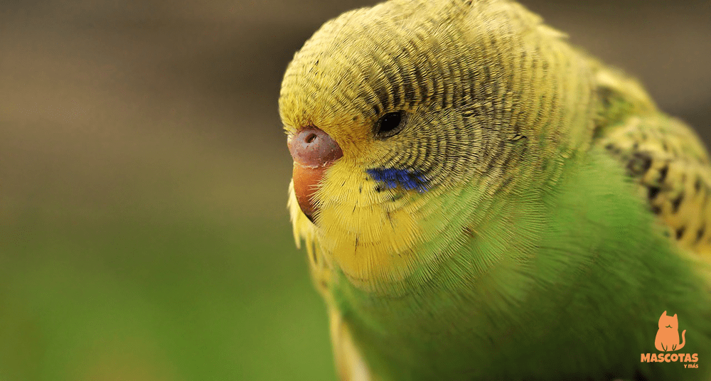 Periquito hembra de color verde y amarillo