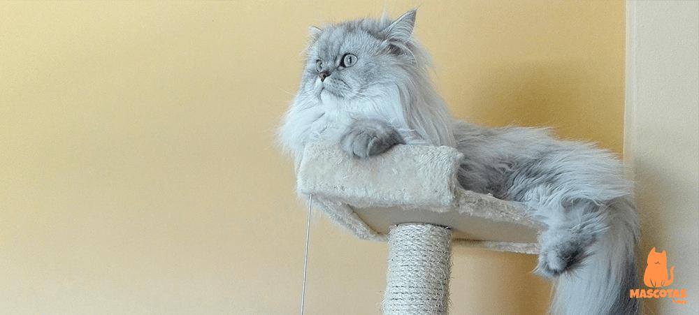 Gato persa de color gris sobre un rascador