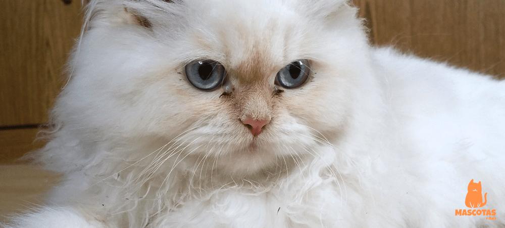 Gato persa blanco con ojos azules