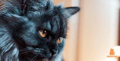 ¿Cómo eliminar los nudos en gatos de pelo largo?