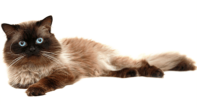 Gato siamés de pelo largo tumbado