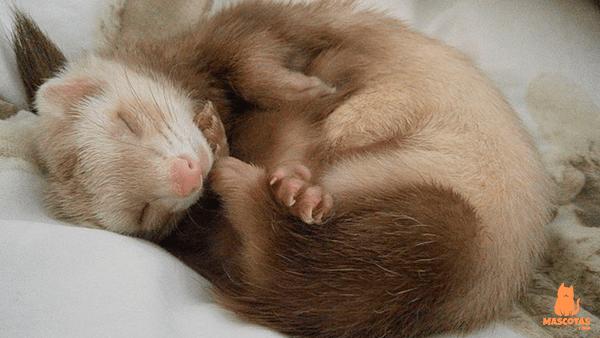 Hurón durmiendo