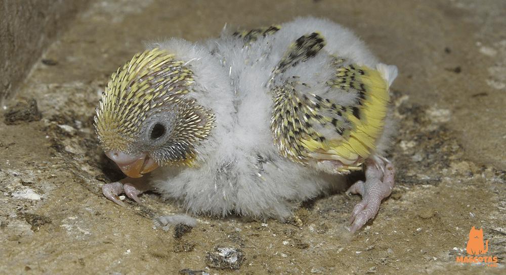 Cría de periquito amarillo