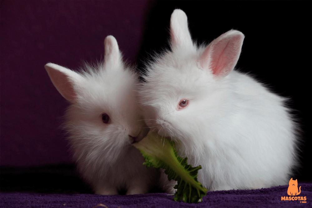Conejos enanos blancos y albinos comiendo lechuga