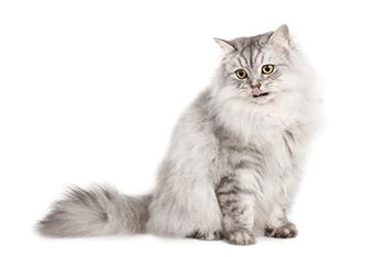 Gato gris lamiéndose