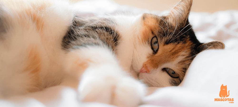 Hembra de gato de pelo corto tumbada en la cama