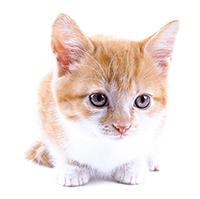 Gatito atigrado pequeño