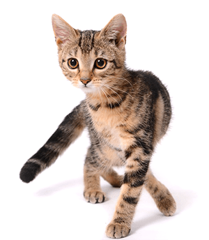 Cachorro de gato americano de pelo corto