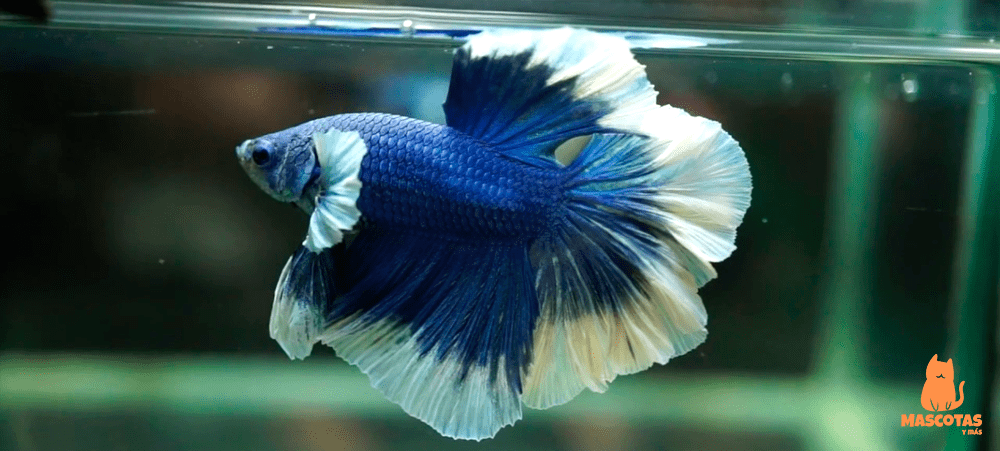 Pez betta butterfly