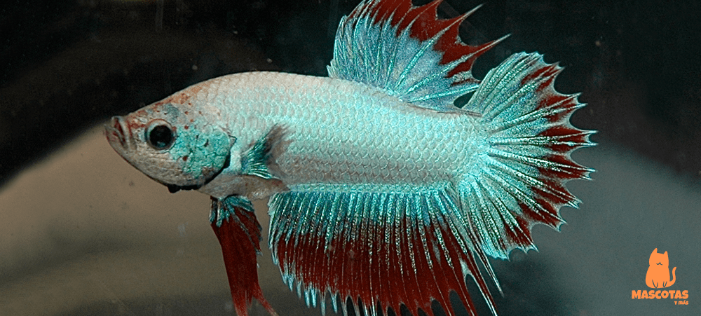 Pez betta crowntail