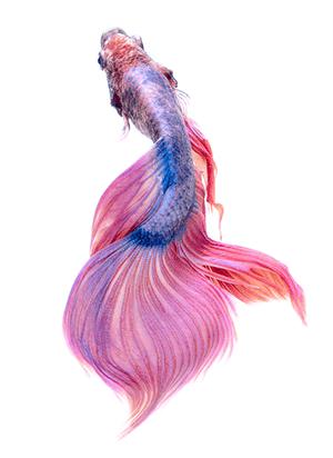 Luchador de Siam de color azul y rosa