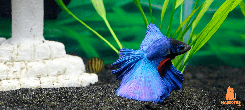 Pez Betta de color azul