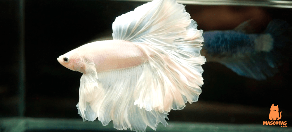 Pez betta rosetail