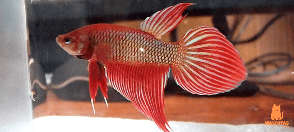Pez betta spadetail