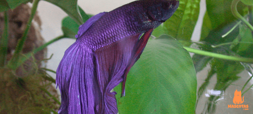Pez betta super delta