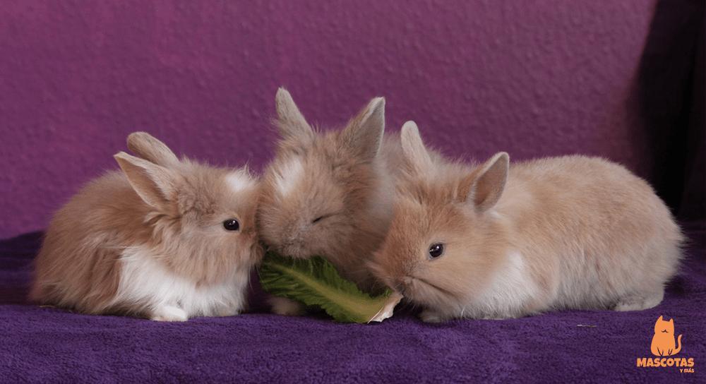 ¿Qué comen los conejos enanos?