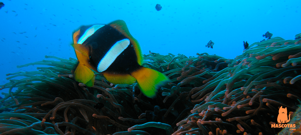 Amphiprion latifasciatus